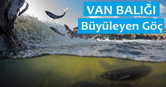 van balığı inci kefali göçü