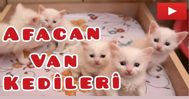 Van Kedi Evinin Afacanları