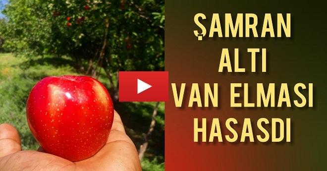 Şamranaltı'nda Van Elması Hasadı