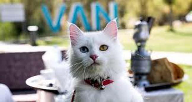 En Güzel Van Kedisi Resimleri