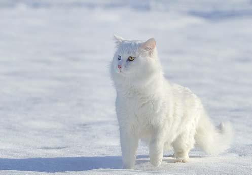 En Güzel Van Kedisi Resmi