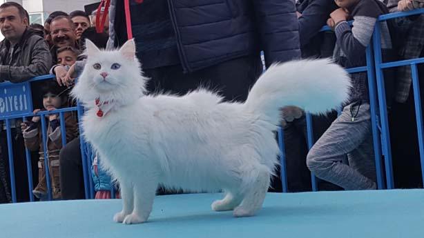 En Güzel Van Kedisi